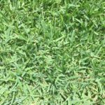 Zoysia,zoysia sod,empire zoysia,grandview farms